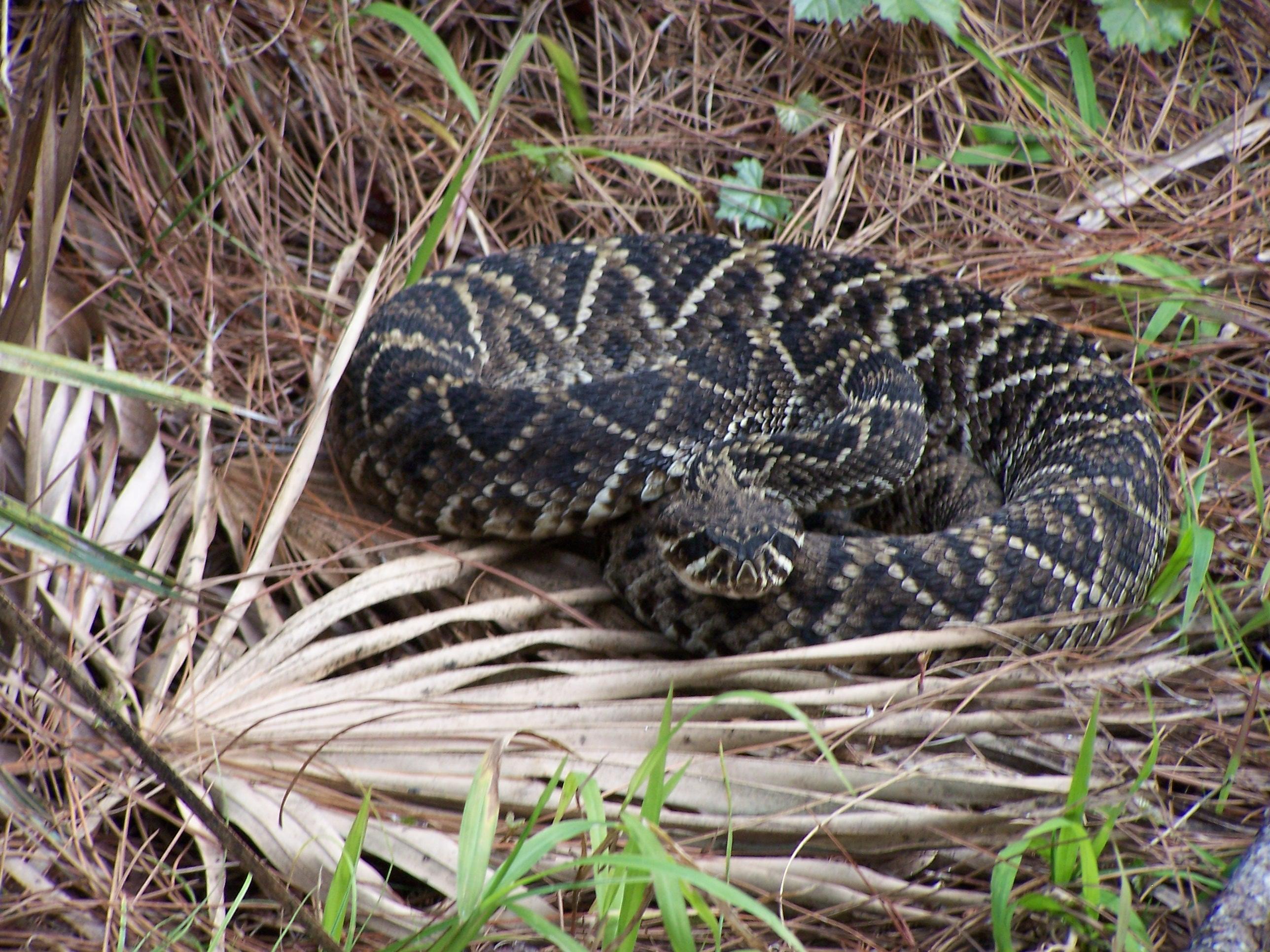 Eastern Diamondback Rattlesnake clipart black diamond #11