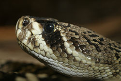 Eastern Diamondback Rattlesnake clipart black diamond #8