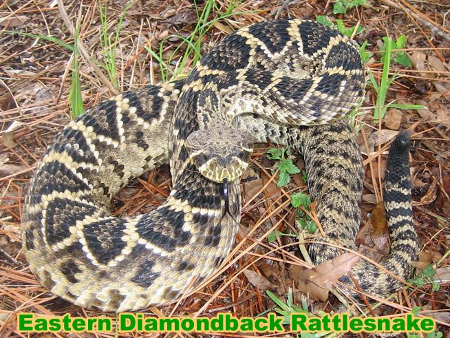 Eastern Diamondback Rattlesnake clipart black diamond #10