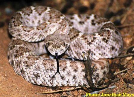 Eastern Diamondback Rattlesnake clipart black diamond #13