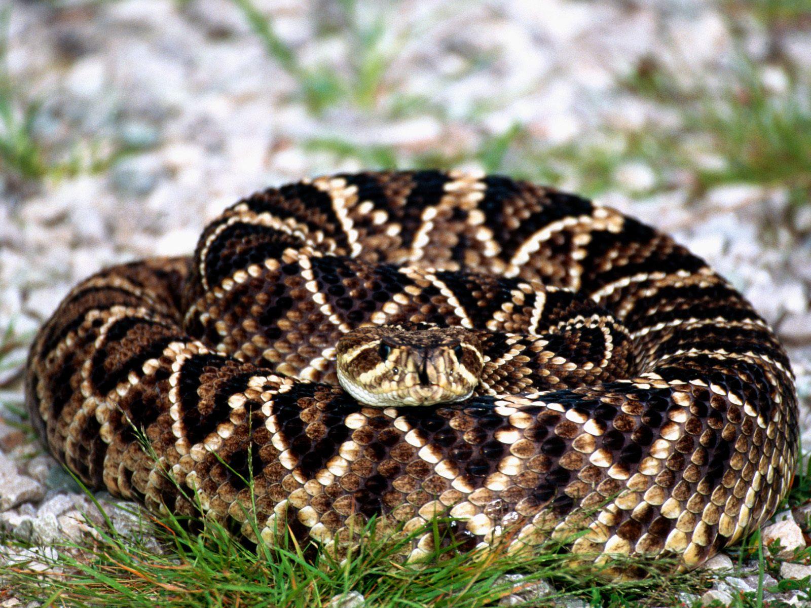 Eastern Diamondback Rattlesnake clipart black diamond #2