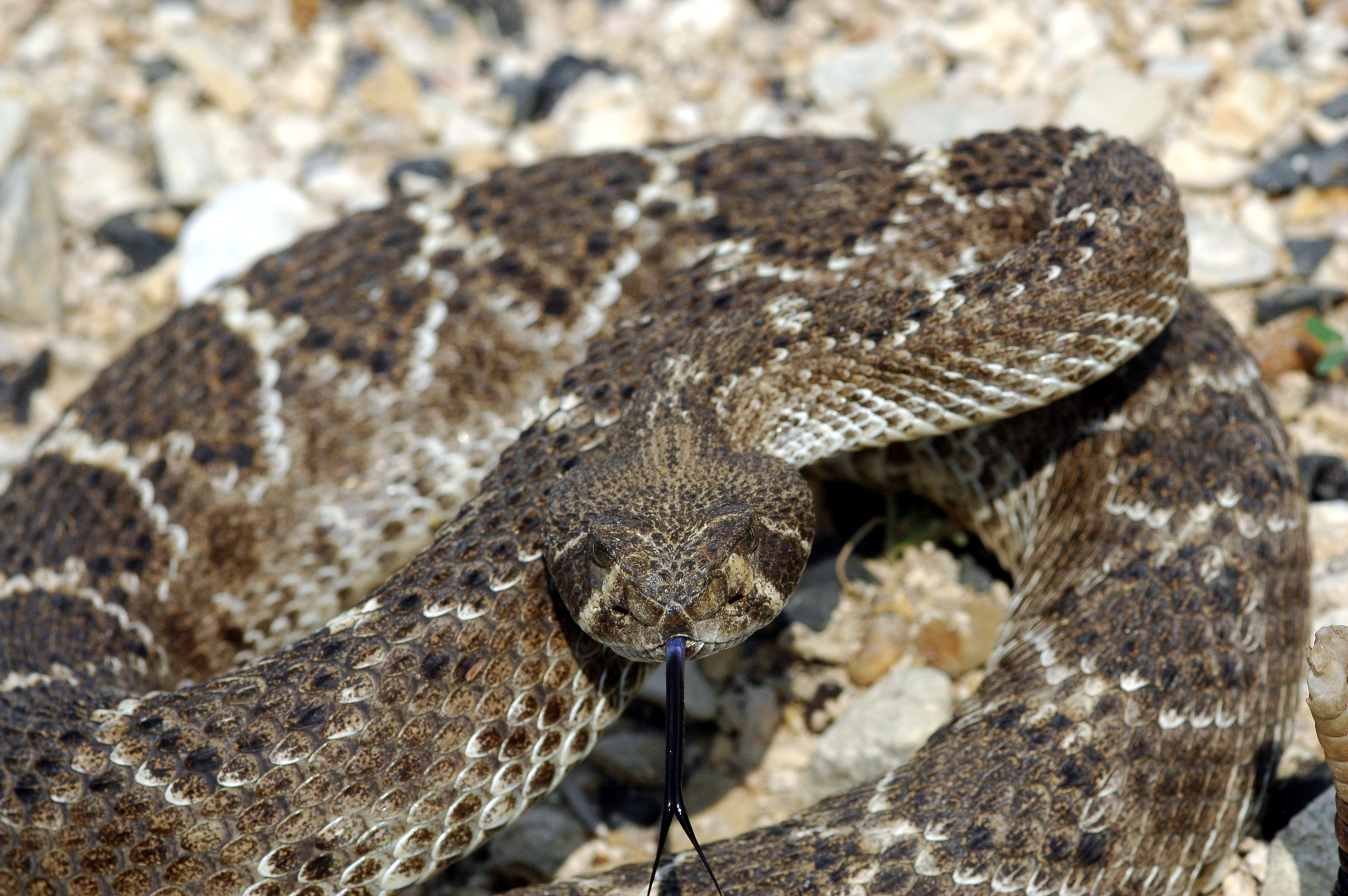 Eastern Diamondback Rattlesnake clipart black diamond #1