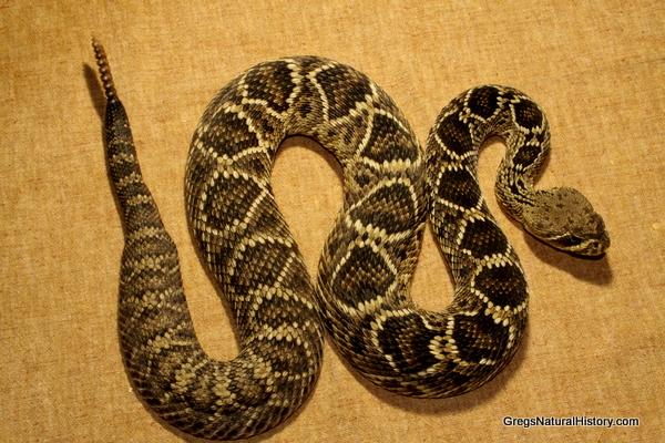 Eastern Diamondback Rattlesnake clipart black diamond #14