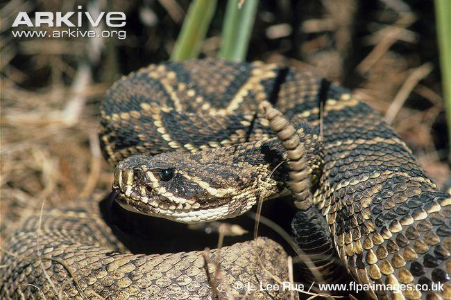 Eastern Diamondback Rattlesnake clipart black diamond #9