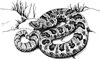 Drawn snake rattlesnake Coloring  Download #14 Eastern