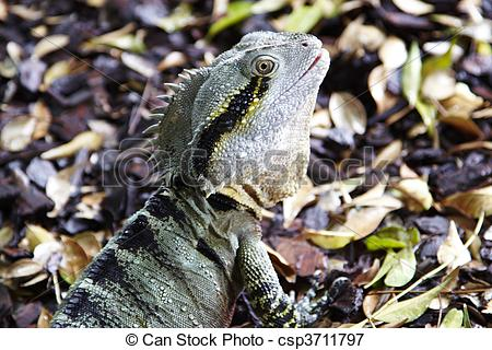 Eastern Water Dragon clipart Of csp3711797 Queensland Picture Oceania