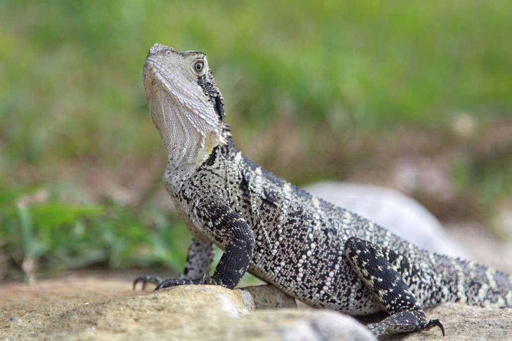 Eastern Water Dragon clipart #5