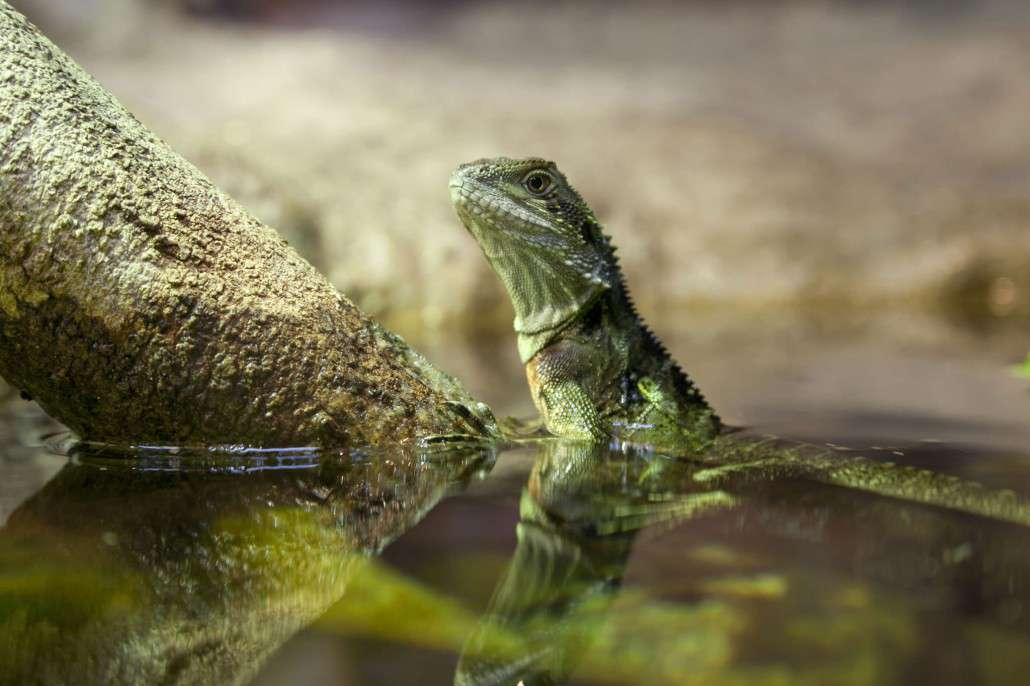 Eastern Water Dragon clipart Water 3 NSW Eastern &
