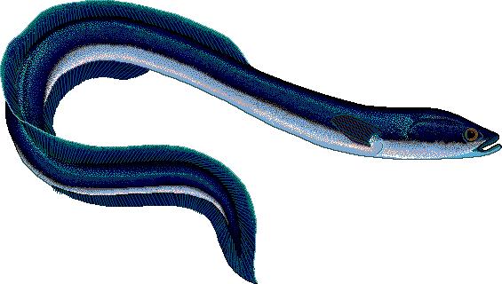 Eels clipart #7
