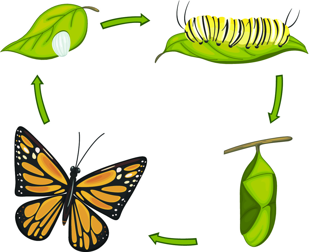 Egg clipart butterfly life cycle #10