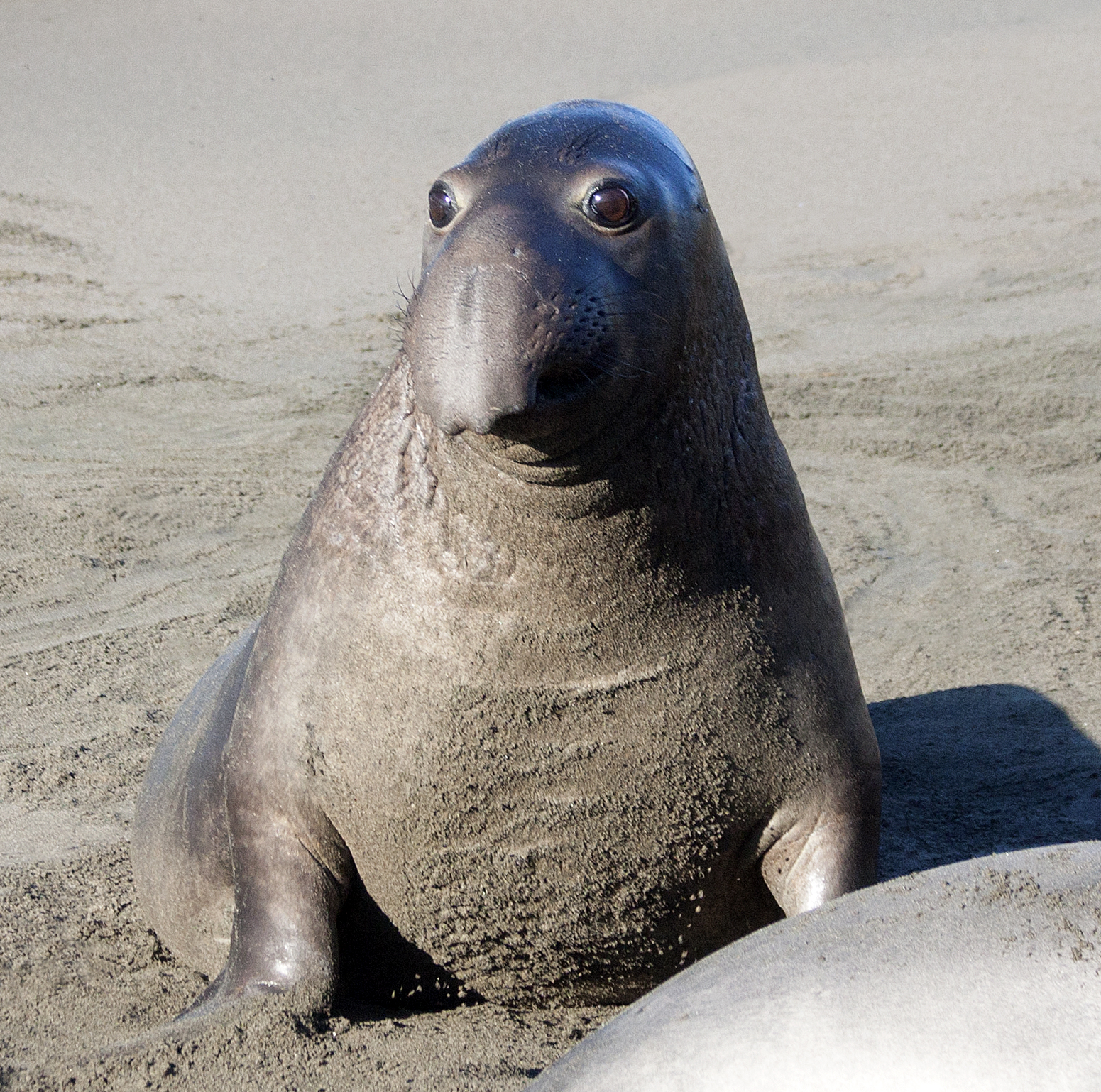 Elephant Seal clipart baby seal #15