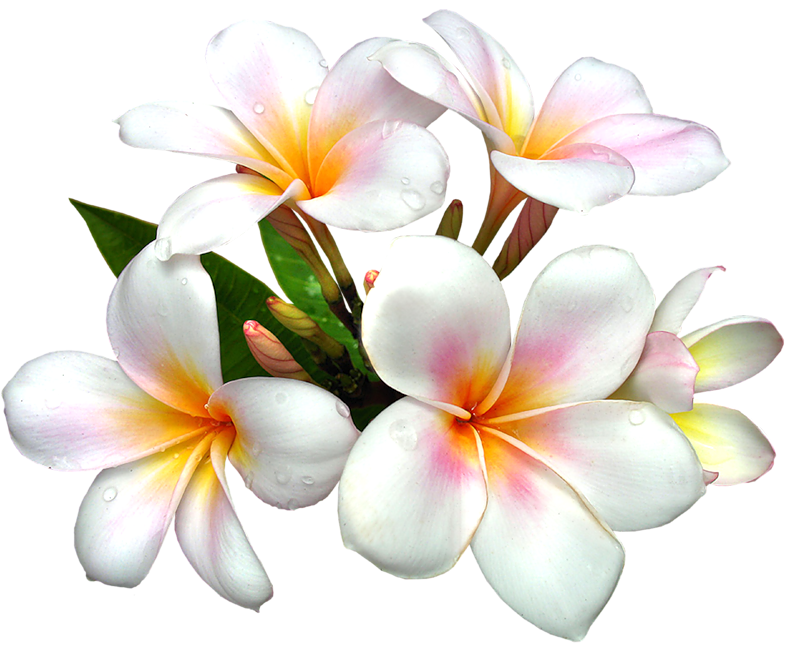 Yellow Flower clipart caribbean PNG Best  Large Clipart