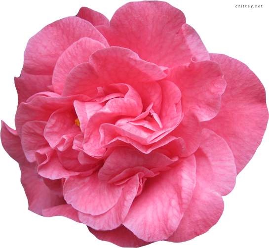 Pink Flower clipart real Clipart Flower Download Flower Real