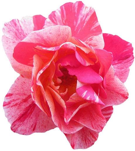 Pink Flower clipart real Com clipart Flower white flower