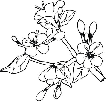 Elower clipart sampaguita Pages Free Coloring Flowers Flower