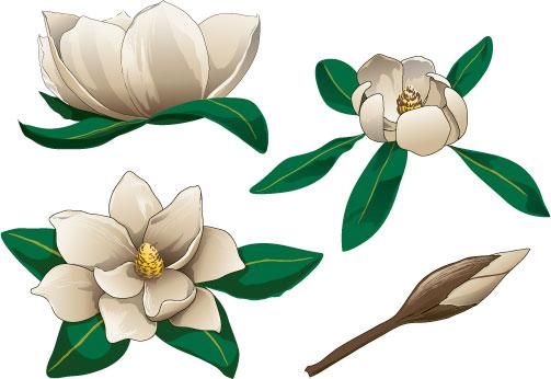 Elower clipart sampaguita Flower magnolia #4 #94