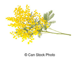 Branch clipart wattle Wattle  flower and Italy