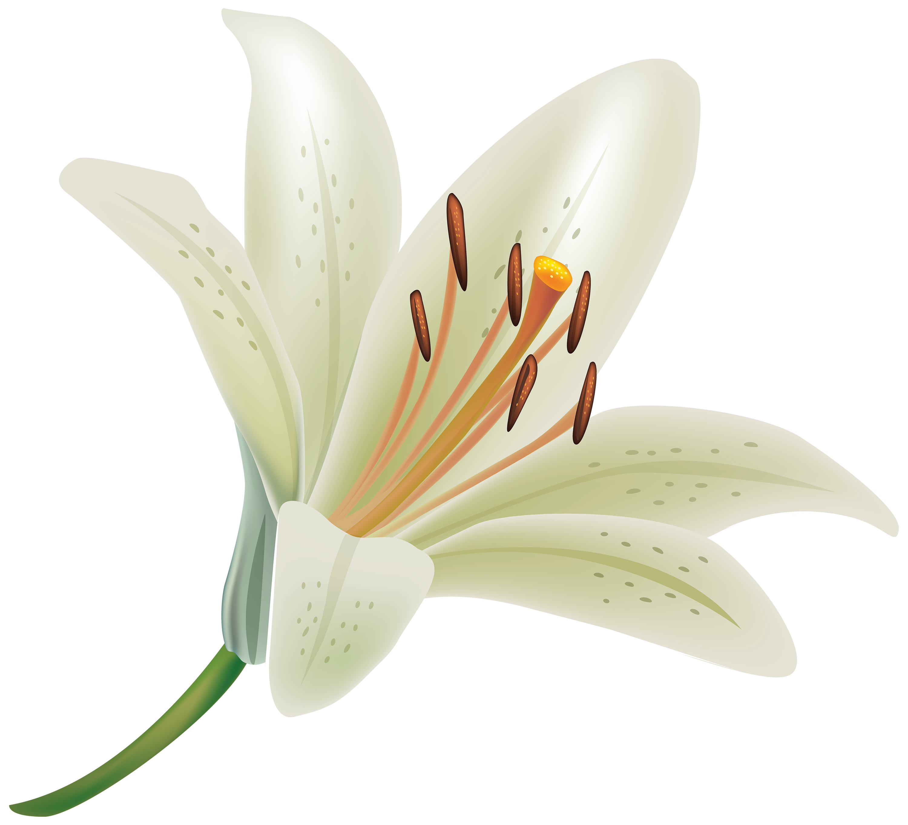 Elower clipart white lily White Clipart Lily WEB PNG