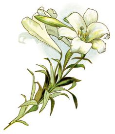 Elower clipart white lily Images: a Quince Antique of