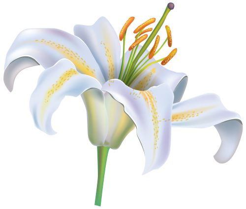 Elower clipart white lily Image on Lily ideas PNG
