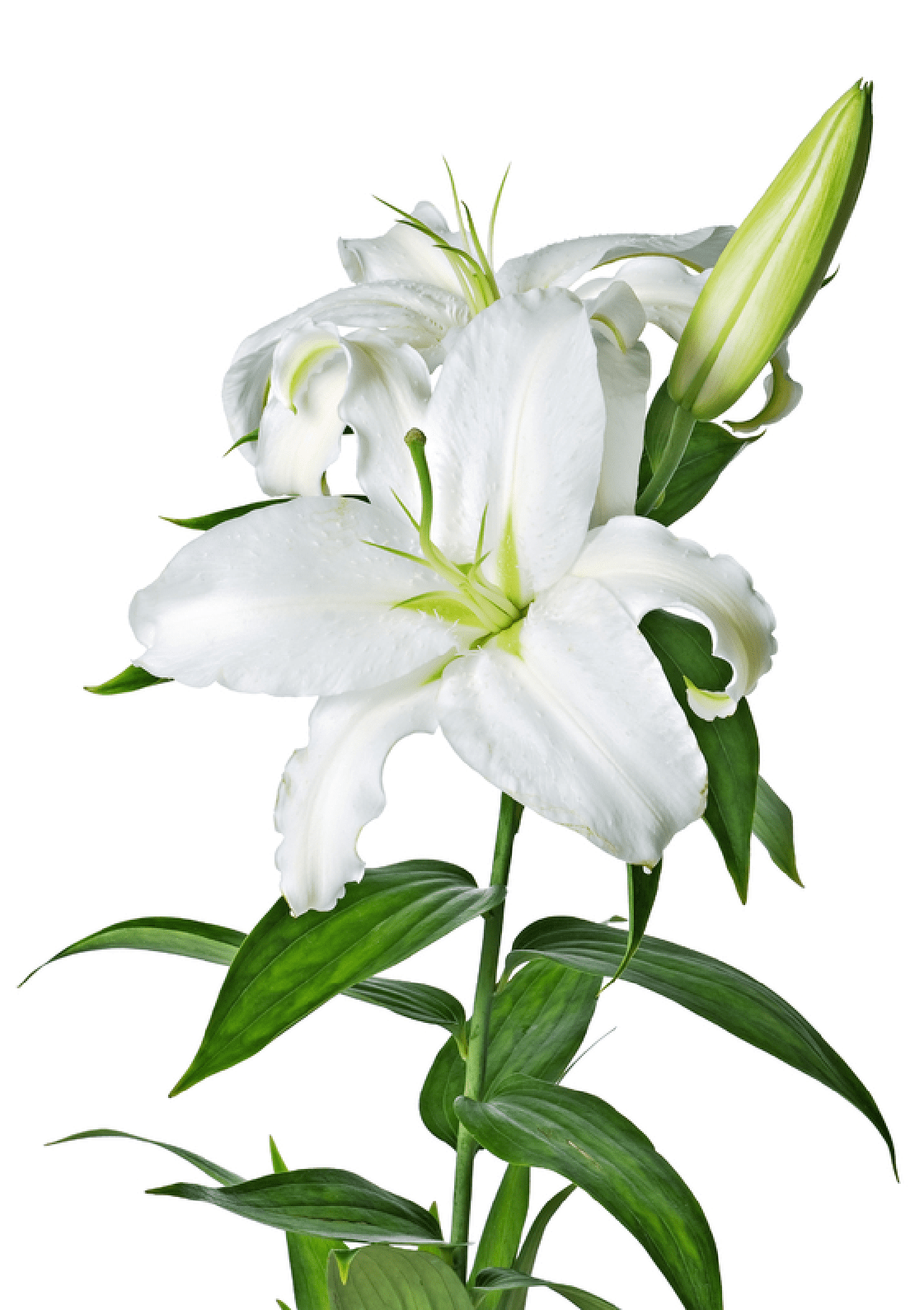 Elower clipart white lily Transparent Lily Lily White PNG