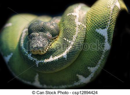 Emerald clipart boa Caninus Stock Corallus of Emerald