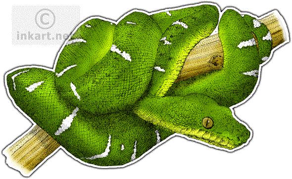 Emerald clipart boa Emerald (Corallus Color Line Emerald