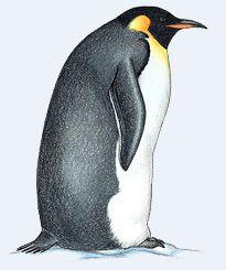 Emperor Penguin clipart Appendix: about Pinterest images Penguins