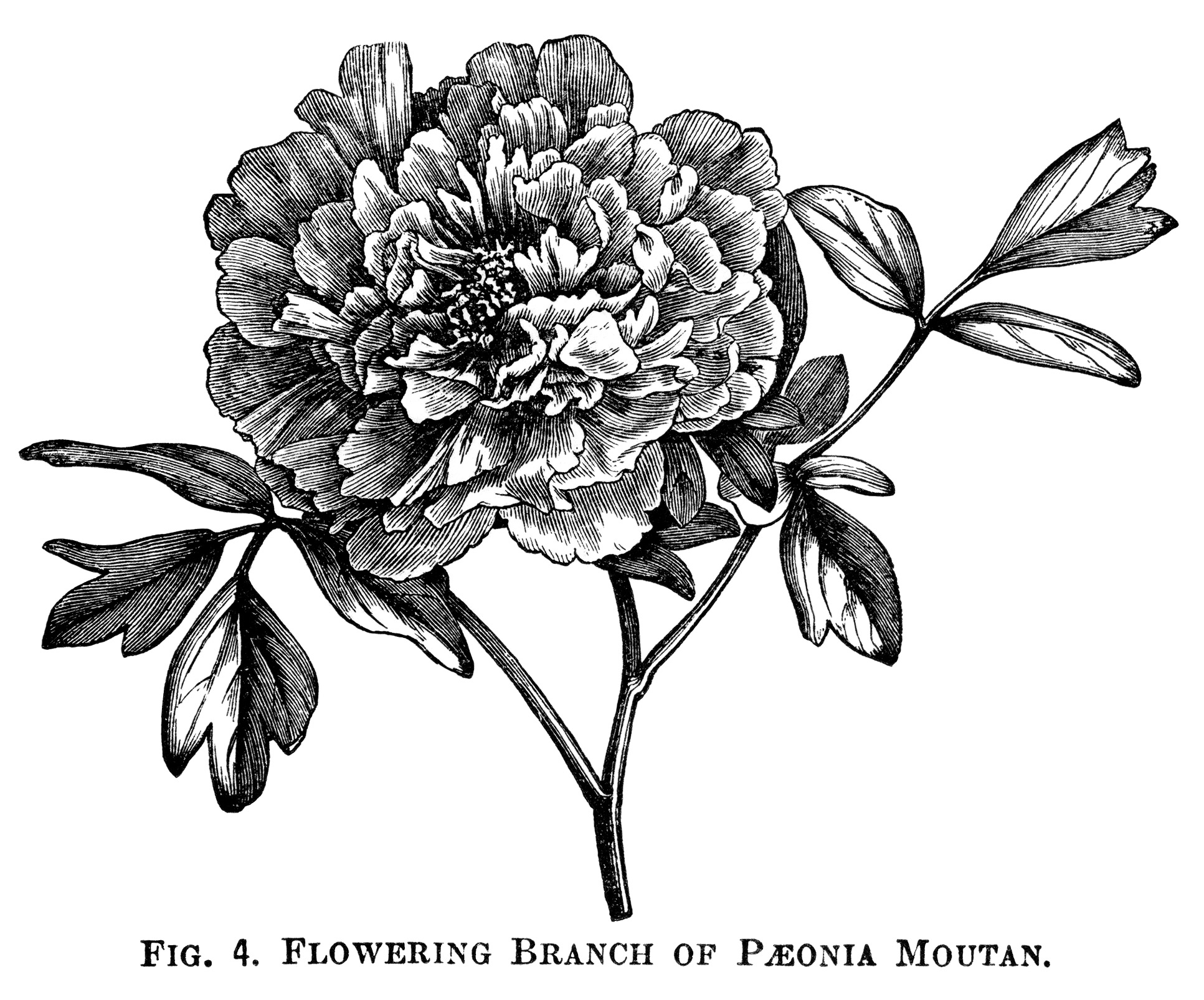 Plant clipart botany Paeonia and engraving art black