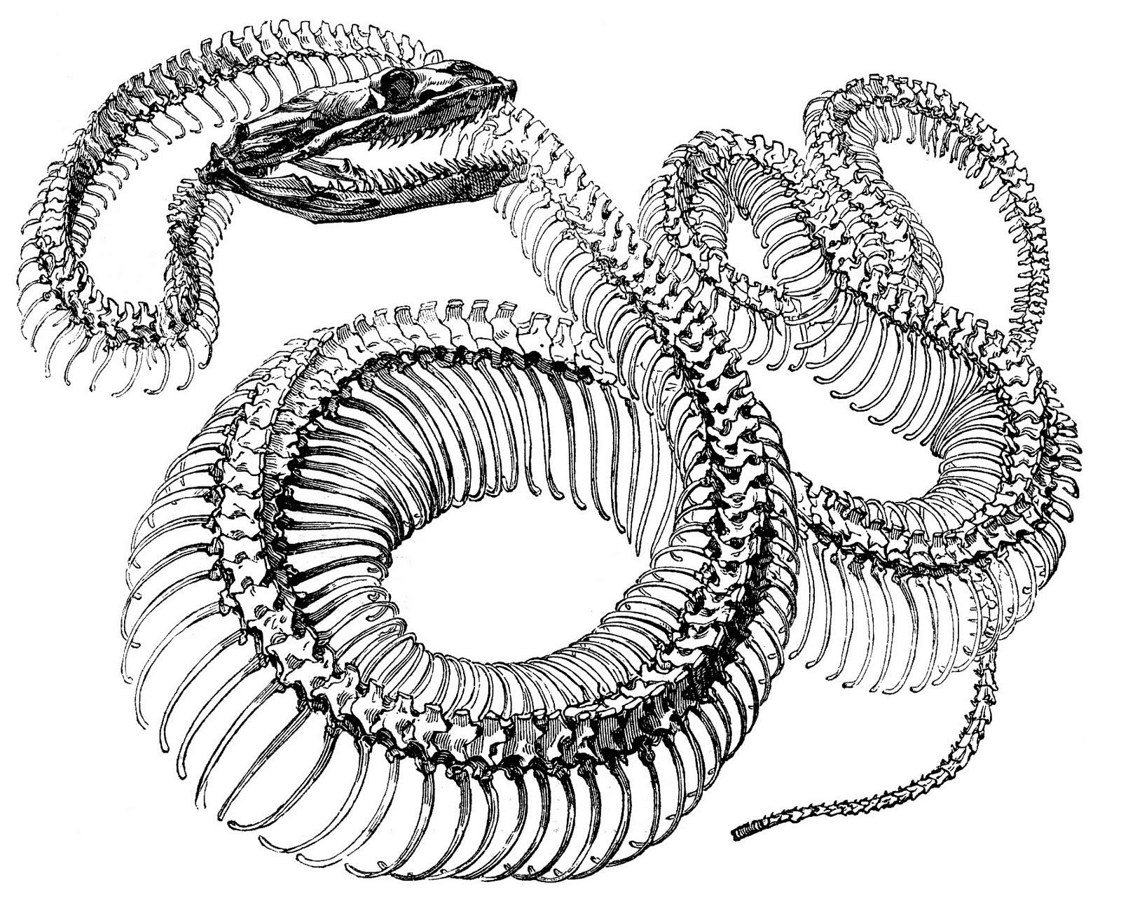 Drawn snake vintage Antique Skeleton  Snake fairy