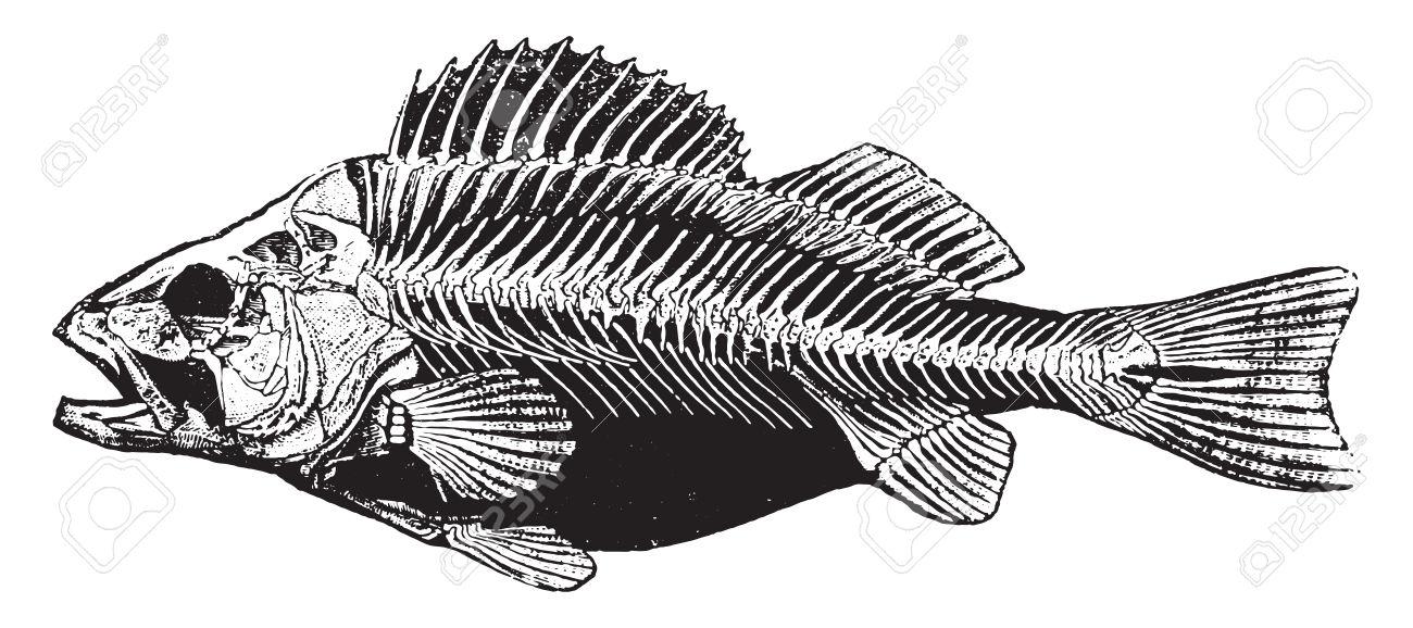 Engraving clipart animal skeleton  History History Vintage Fish