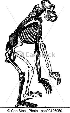Engraving clipart animal skeleton  Clipart engraving gorilla Vector