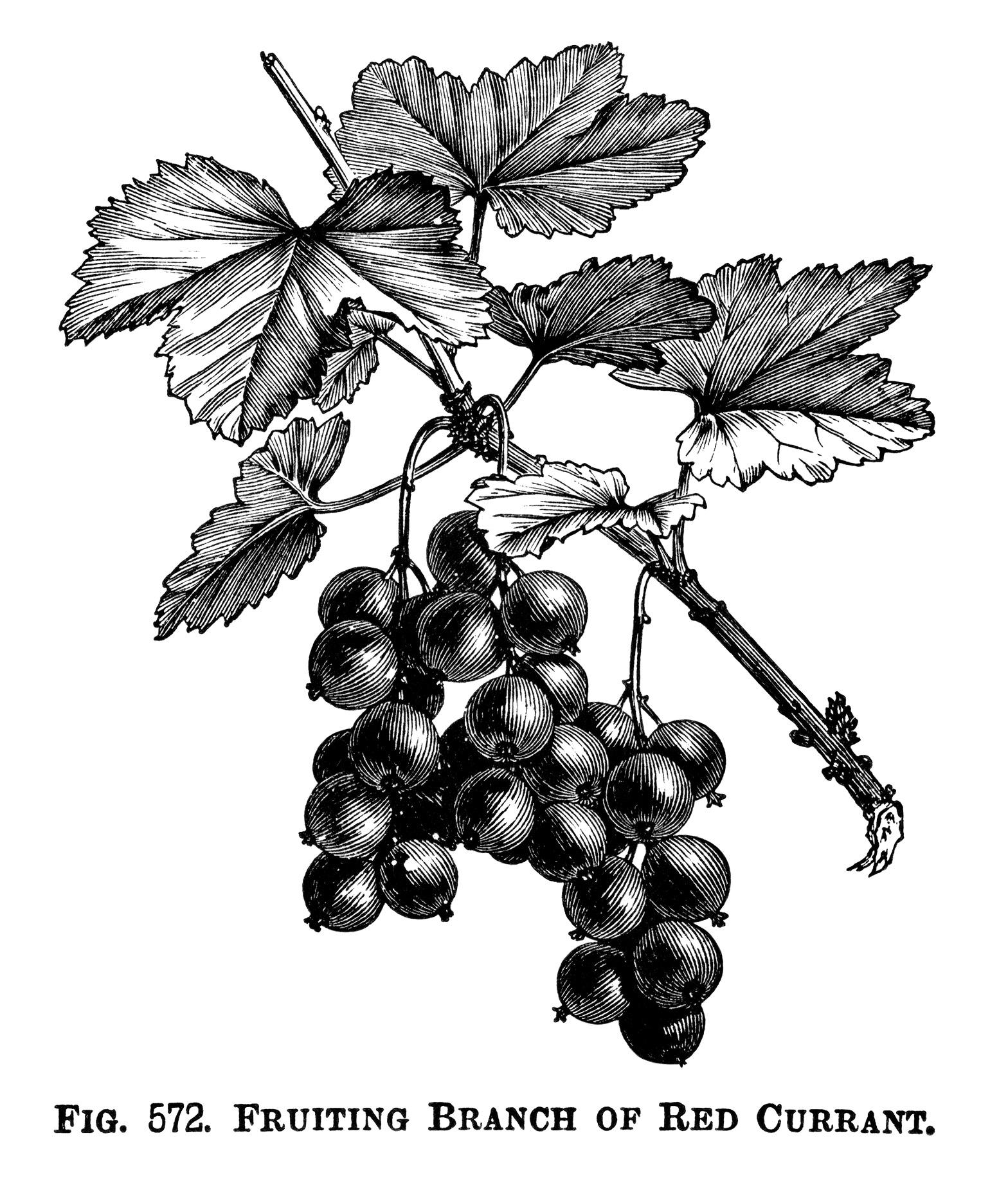 Grape clipart printable Vintage Branch Currant Find more