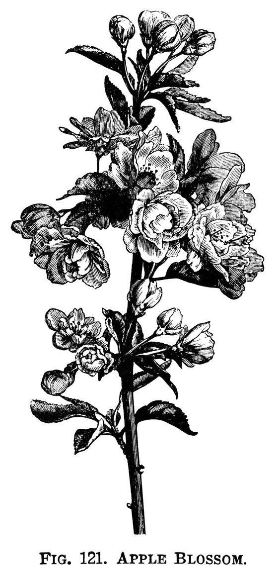 Engraving clipart art Branch art clip blossom flowering