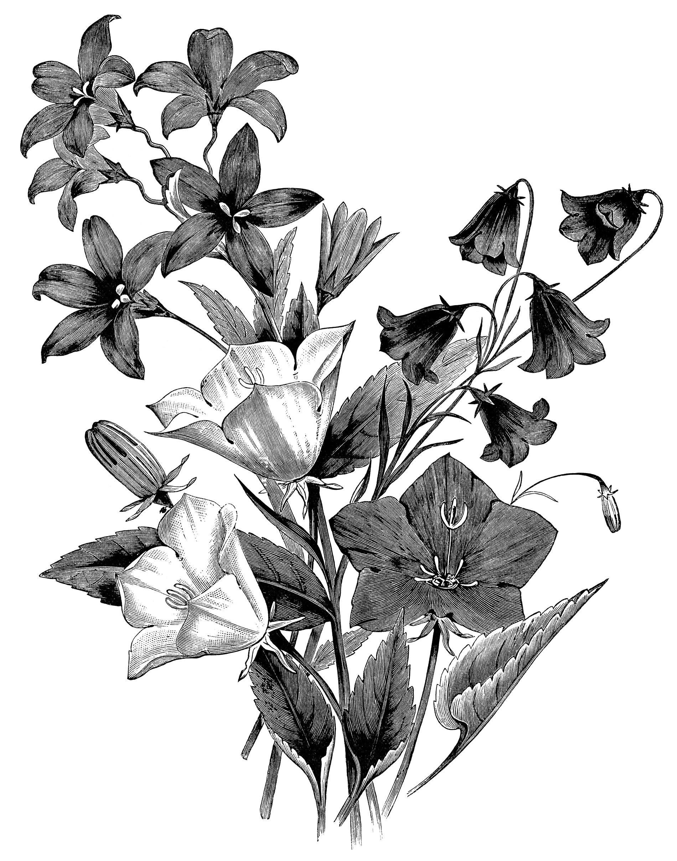White  Campanula black and