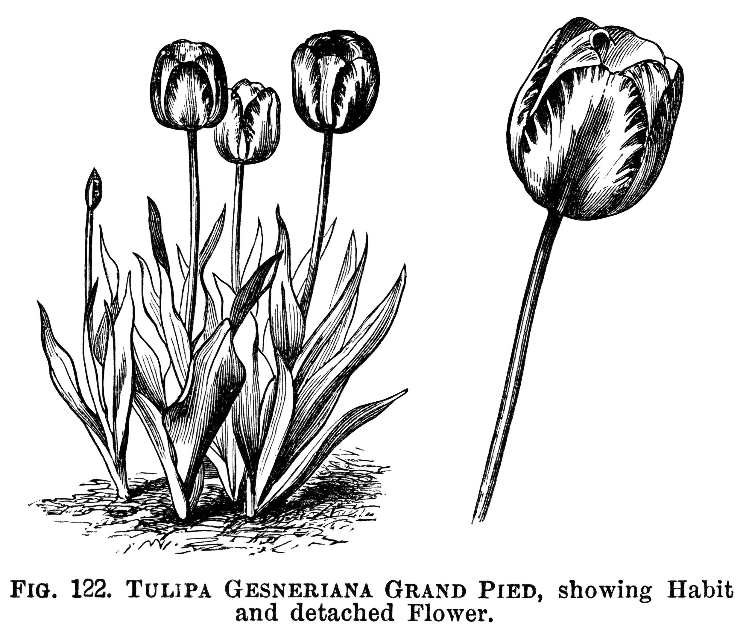 Vintage Flower clipart gardening Tulip illustration clipart black vintage