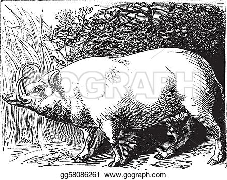 Engraving clipart medieval Vintage  engraving babirusa The