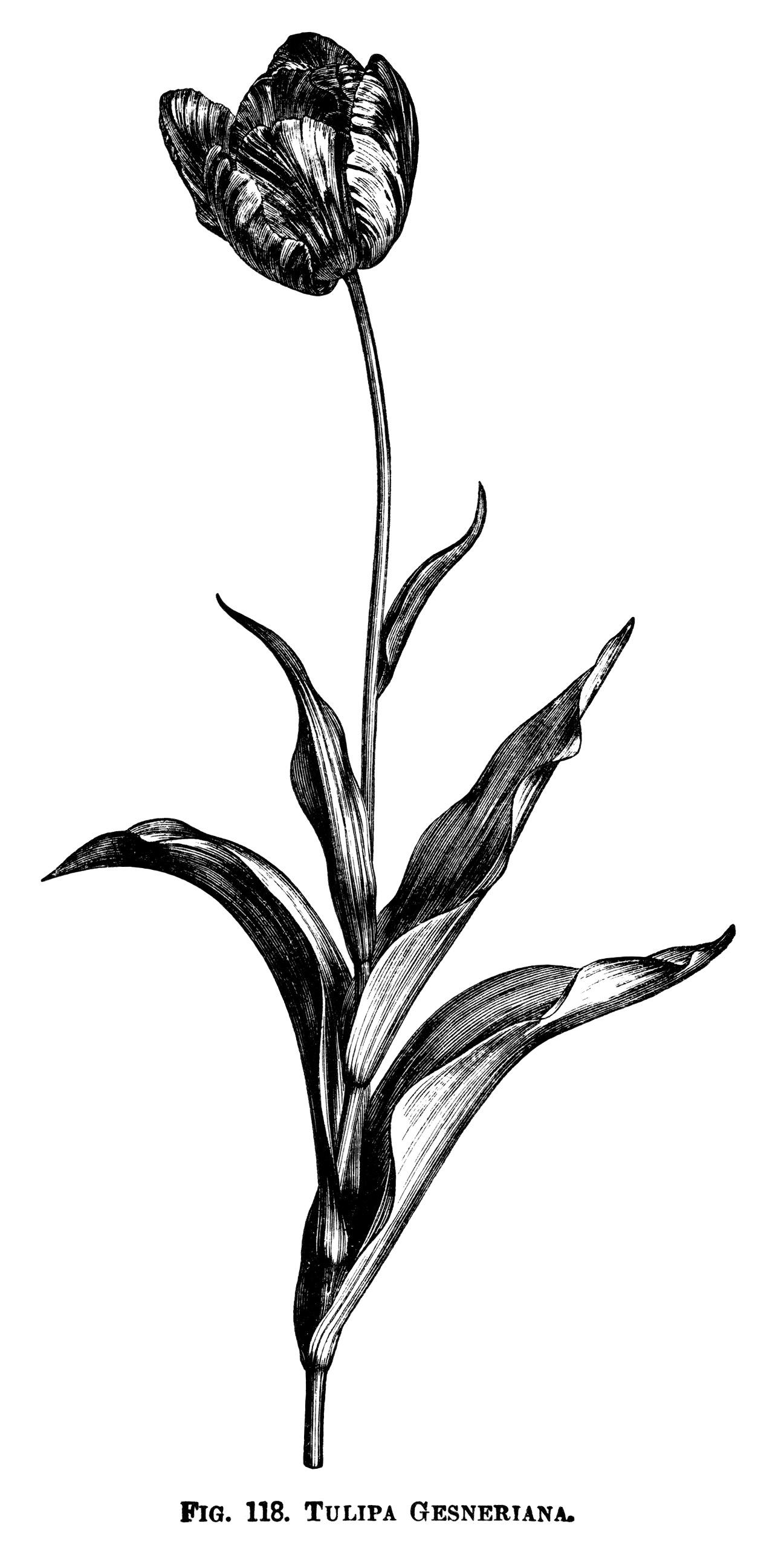 Vintage Flower clipart gardening Tulipa Paeonia clip ~ IllustrationsBotanical