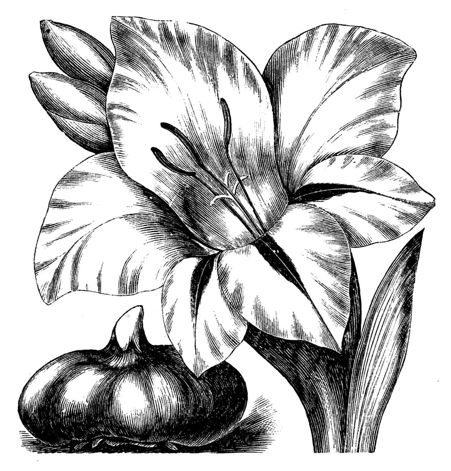 Engraving clipart floral Gladiolus Dahlias The and Gladiolus