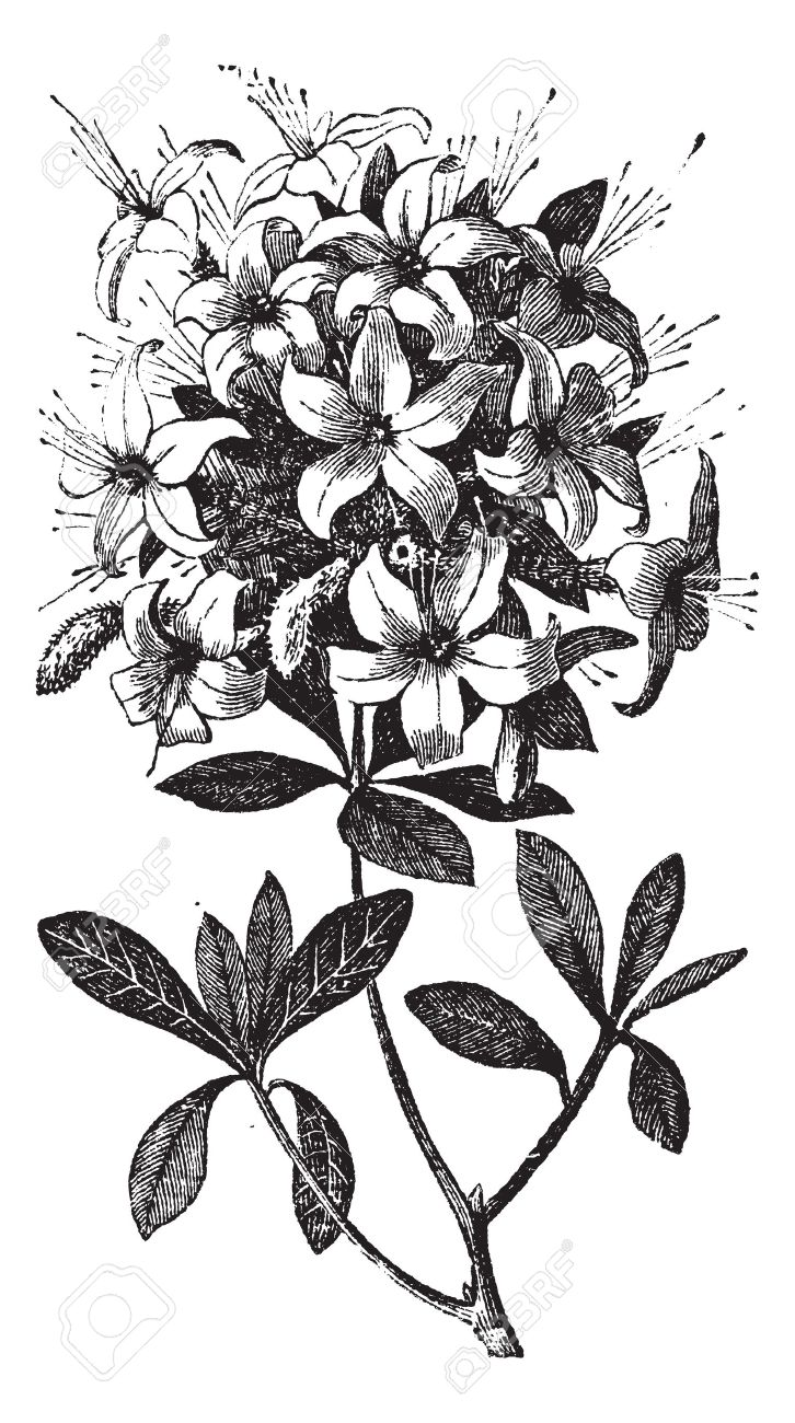 Engraving clipart floral N or Rhododendron Azalea 13770608