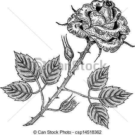 Engraving clipart vector Style Vector engraving  rose