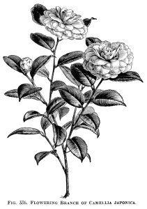 White Rose clipart rose garden Rosa blossom clip tree apple