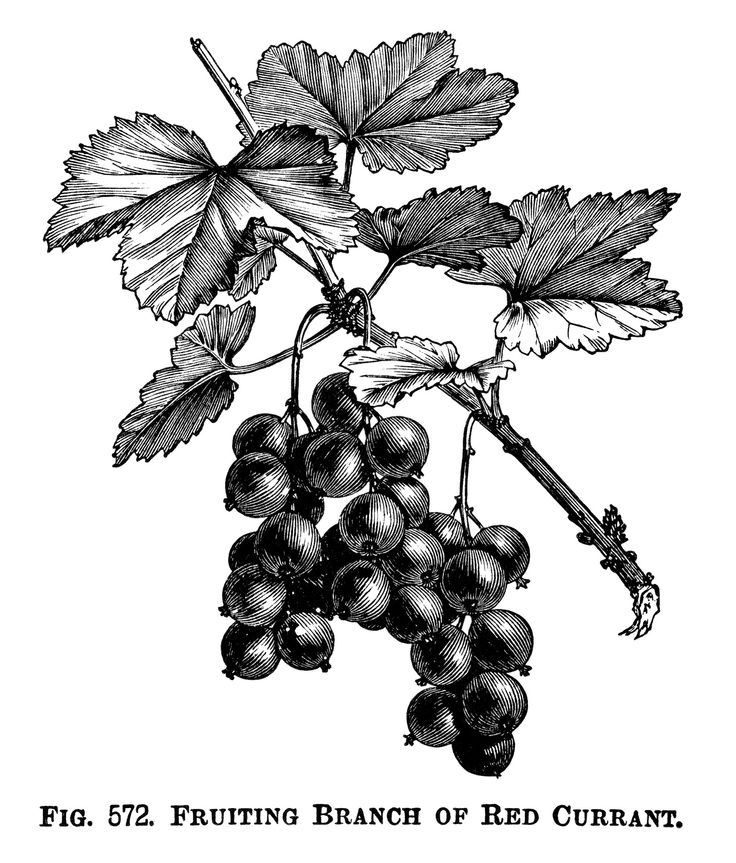 Currants clipart About illustration Currant engraved 330
