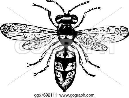 Engraving clipart wasp Vespa Old vulgaris Vulgaris Vector
