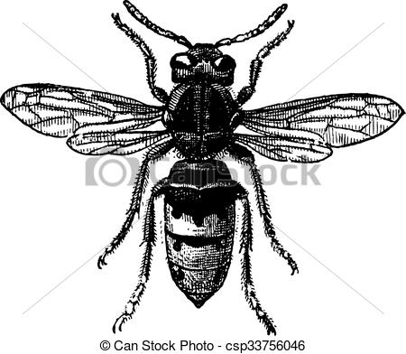 Engraving clipart wasp Vintage Wasp engraving EPS