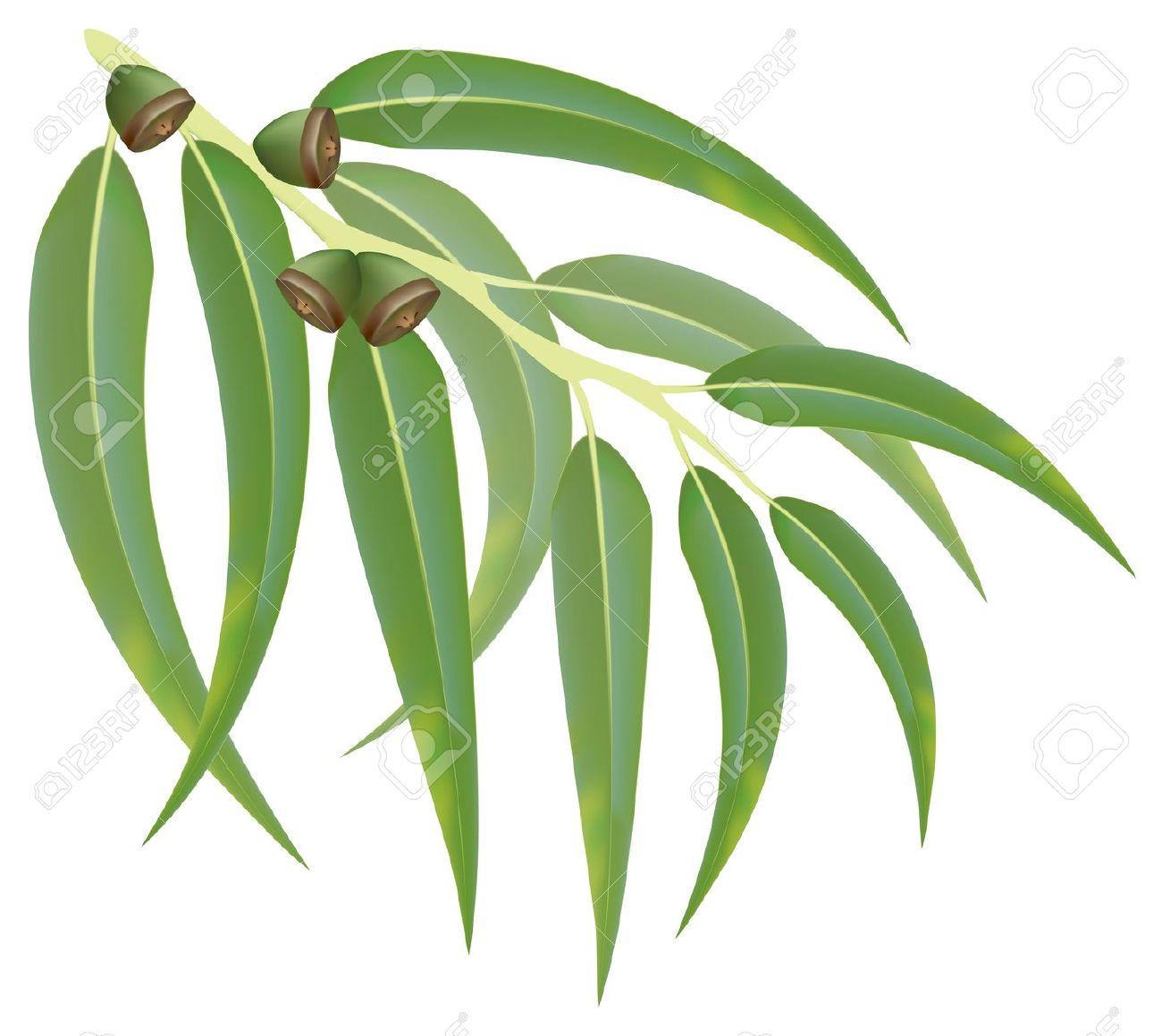 Eucalyptus clipart Eucalyptus Leaf Leaf Clipart Download