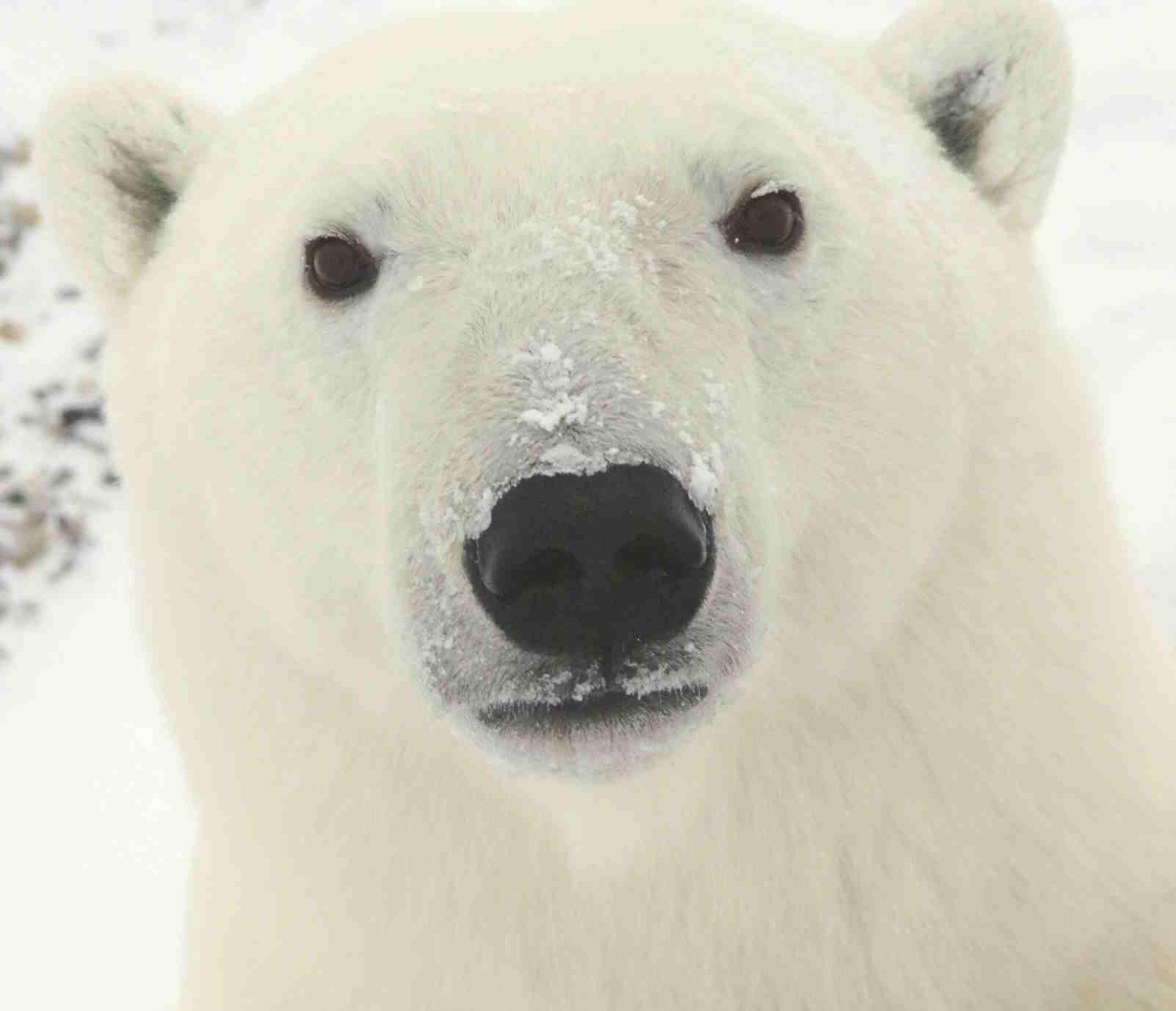 Drawn polar  bear face Clipart Polar Polar wallpaper Clipart