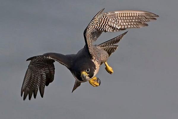 Peregrine Falcon clipart falcon flying Falcon wallpaper Peregrine  Clipart