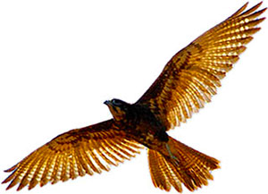 Peregrine Falcon clipart falcon flying Bird Images seen Clipart below