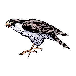 Falcon clipart hawk #5